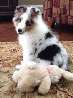 Blue Merle Sheltie with her toy
