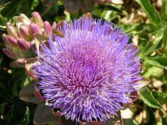 High Desert Gardener: Artichokes - Beautiful Flowers, Tasty Vegetables