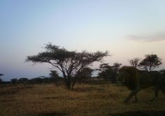 I just classified this image on Snapshot Serengeti! A male Lion on the move.