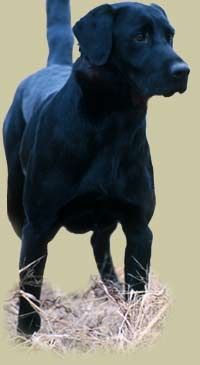 Reminds me of my black lab Abbie gal from when I was little :(( I miss her so much.  She protected me from going in the street on my tricycle and stood in front of me when dogs got near me ! Rip Abbie gal !!