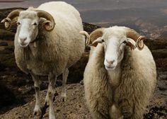 I'm researching the beautiful Bordeleira sheep from the the Serra da Estrela region in Portugal! Baa Baa Black Sheep, Sheep Breeds, Portugal, Farm Animals, Goats, Felting, Bunnies, Fiber, Wool