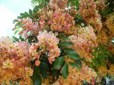 Everyday near Poipu, Kauai we saw these rainbow shower trees in bloom like this.  Sooooo very beautiful!
