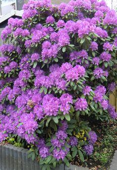 rhododendron stuik