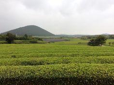 Jeju O'sulloc Tea Farm
