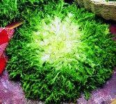 La escarola (Cichorium endivia) es una hortaliza de ciclo bienal cuyas hojas, de gran tamaño y profundamente divididas, permanecen agrupadas en un amplio c