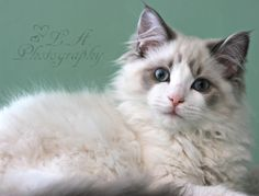 Insta. AC.  l.a._photography_  My Grandma's Ragdoll cat! ~Nelson I LOVE his eyes!!! Please follow me on Instagram at  l.a._photography_