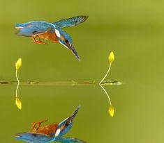 Common Kingfisher, Bird, Animals, Steel, Animales, Animaux, Birds, Kingfisher, Animal