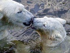 Polar bear smooch.
