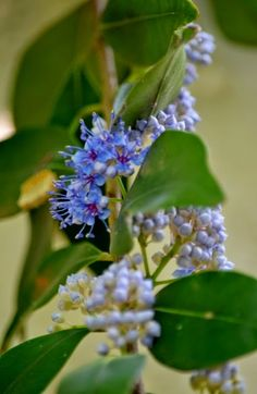 I feel rich seeing the bluish-purplish blossoms on the just-over-two-year-old bush of Ironwood/Delek Air tree/Anjan (Memecylon umbellatum).