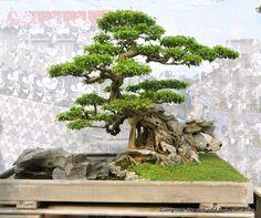 Très beau bonsai vietnamien - beaucoup de détails intéressants; le pot a angle droit, les racines sur roche, l'intégration des roches et de la mousse, le mouvement des branches...
