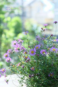 道のりを記憶に残して: 鉢植えで年中よく咲く2種類のお花/花・グリーンのある暮らし