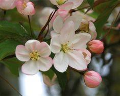 Malus baccata - Pommier à fleur