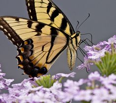Yellow & Black Butterfly - Lovely !