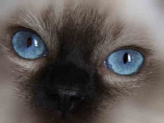 Ragdoll cats have the most gorgeous blue eyes (not photoshopped!)