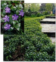 bowles periwinkle google search ground ideasgarden - Ground Cover Ideas