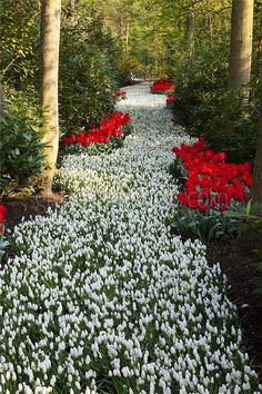 White Grape Hyacinths Edged With Red Tulips In Keukenhof Gardens, South Holland.
