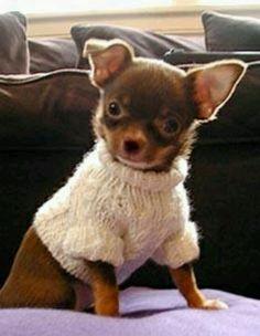 Mini Chihuahua (love the sweater)
