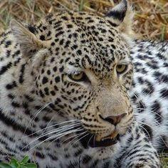 We were so lucky to see leopards in the wild    #leopard #leopards #raubkatze #moremi #moremigamereserve #botswanawildlife #safari #earthofficial #africaninspired #animalfanatics #iloveanimals #awasome #fiftyshades_of_nature #cuteanimals #botswana #beautifulcreatures #mypictures #travelgram #intothewild #fotofanatics_nature_ #travelblogger #reiseblogger_de #collectmoments #ig_naturepictures #africa #wildlife #wildlifephotography