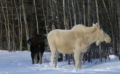 Élan. Animaux albinos, blancs