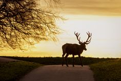 Deer in the sunset.