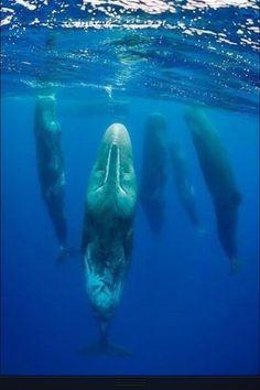 Shhhhh... sleeping whales.
