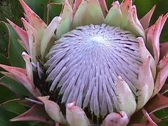 Each more beautiful than the last. So many and all gorgeous. May Flowers, Wild Flowers, Beautiful Flowers, Crepe Paper Flowers Tutorial, King Protea, Protea Flower, Paper Bouquet, Close Up Photography, Hawaiian Flowers