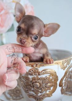 Tiny Teacup #chihuahua puppy by TeaCups! www.TeaCupsPuppies.com #dogsfunnypuppies