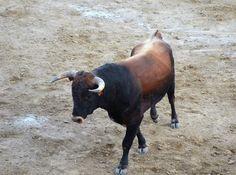 Santacara: Vacas Hermanos Marcen (16) Cow, Animals, Cows, Siblings, Fiestas, Animales, Animaux, Cattle, Animal