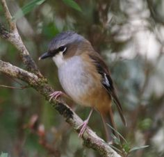 grey headed robin - It is one of two species within the genus Heteromyias. Previously it and the ashy robin from New Guinea were treated as one species. Subfamily: EOPSALTRIINAE