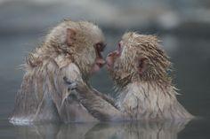 Kiss - Jigokudani Monkey Park