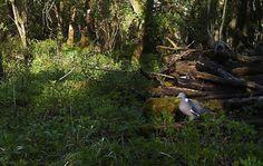 The UK's commonest pigeon #birds - http://anenglishwood.com/?p=9407