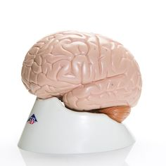 In this two part Brain Model the contrasting colors are used to indicate various anatomic structures in the human brain, making this high quality model perfect for beginning anatomy studies of the human brain.