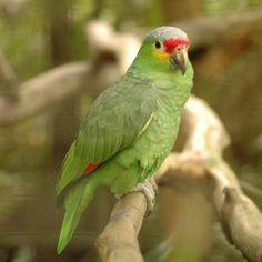 Southern California's wild parrot population is growing, raising worries that they might be threatening the survival of native birds. Parrot Pet, Parrot Toys, Exotic Birds, Colorful Birds, Green Birds, Parrot Facts, Types Of Species, Best Pet Birds, Amazon Parrot
