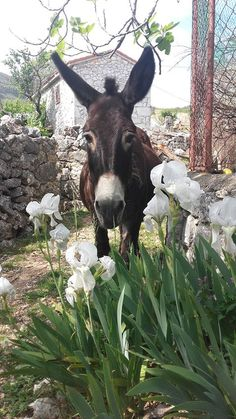 If you wonder what a donkey can eat, you can find all important feeding facts here. Take good care of your donkey with best information. Farm Animals, Animals And Pets, Funny Animals, Cute Animals, Wild Animals, Baby Donkey, Cute Donkey, Mini Donkey, Baby Cows