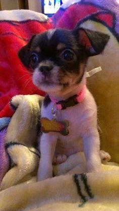 Chihuahua Shitzu mix :)