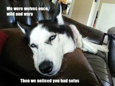 "Siberian Huskies, ""We were wolves once, wild and wary, then we noticed you had sofas."""