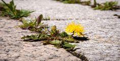 Plevel prorůstající vaší dlažbou dokáže pěkně pozlobit