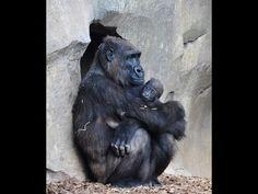 Bebé gorila (10 semanas de vida) | Baby gorilla (10 weeks)