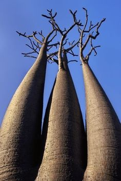 Madagascar - Bottle trees (Frans Lanting), the look like upside down carrots. Frans Lanting, Baobab Tree, Bottle Trees, Unique Trees, Nature Tree, Tree Forest, Land Art, Tree Of Life, Amazing Nature