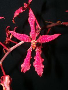 Renanthera bella  - Flower in Front-view