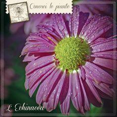 ECHINACEA L'#echinacea è una pianta originaria del Nord America, le cui virtù erano note ai nativi indiani ben prima dell'arrivo dei coloni bianchi. Oggi l'echinacea è una delle piante più utilizzate per contrastare i primi fastidi della stagione fredda. Tutte e 3 le specie di questa pianta (angustifolia, purpurea e pallida) possono sostenere le naturali #difese dell'organismo. http://www.drgiorgini.it/index.php/a1-seriechitmg100a-drg-echinacea-tmg-analcoolica-100-ml?fee=8&fep=26937