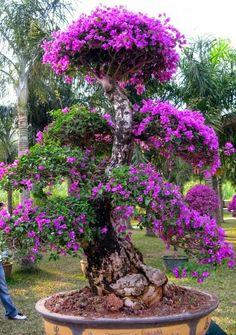 Beautiful Bougainvilea tree