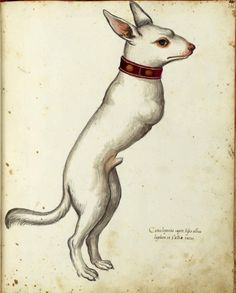 Ulisse Aldrovandi - White dog with red collar missing front limbs; walking on hind limbs.