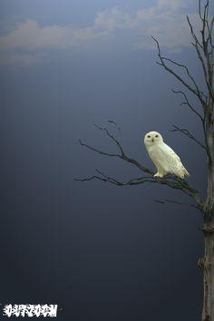 Owl by Vahid Esmailzadeh