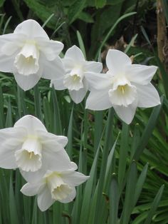White Daffodils: planted in fall for spring bloom in beds, front and back.