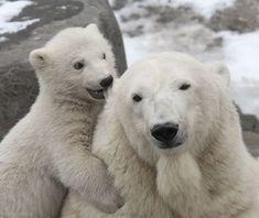 Image du Blog pussycatdreams.centerblog.net  Polar bears