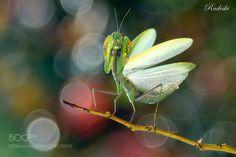 Mantide arrabbiata (Roberto Aldrovandi / Reggio Emilia / Italia) #nikon D800E #macro #photo #insect #nature