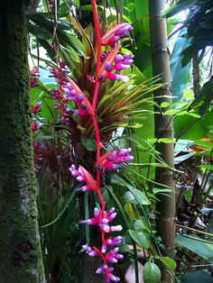 Aechmea_weilbachii_pendula ,Aechmea weilbachii is a species in the genus Aechmea. This species is endemic to eastern Brazil, known from the States of Espírito Santo and Rio de Janeiro,Wikipedia