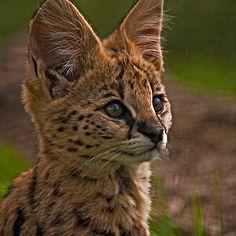 ~~ Serval Kitten Portrait ~~
