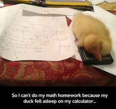 So I can't do my math homework because my duck fell asleep on my calculator.....